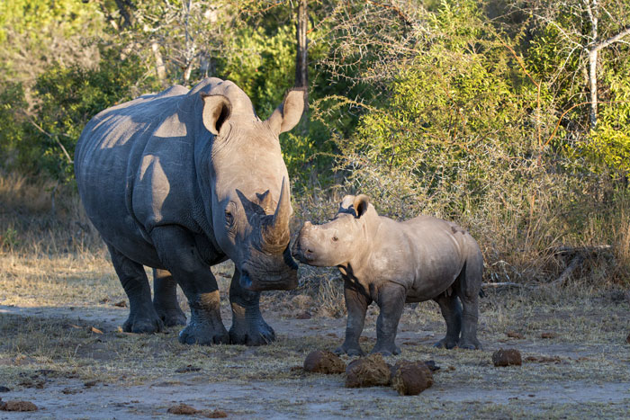 This female rhino and her calf have been spending a lot of time around the Maxabene riverbed, and the youngster on this evening was intent on chasing every Blacksmith Lapwing in sight!