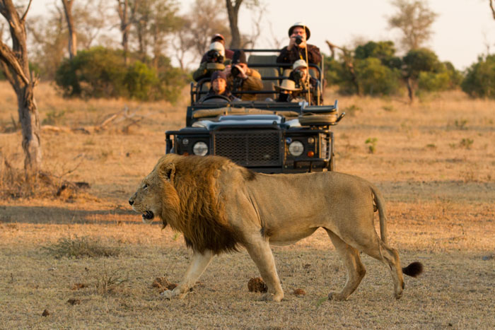 By simply comparing lions to other lions it is hard to get an idea of just how big and impressive they are. When they walk past a Land-Rover for reference however, it becomes a little easier to appreciate their size, as the scar-nosed Majingilane walks past ranger Byron Serrao's vehicle.