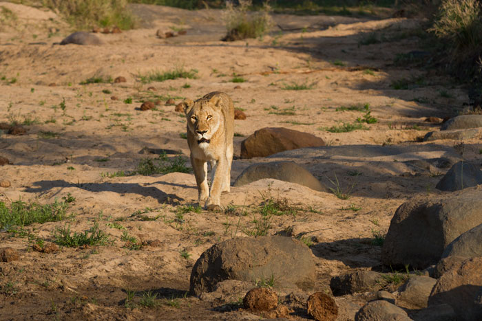 The older tailless Tsalala lioness walks through a dry section of the Sand River in search of the rest of her pride. She found them in the company of the Majingilane a few hundred metres further on.