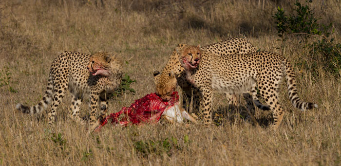 The mother cheetah and her cubs have had a turbulent week with her injury worries, but this kill was a massive boost for the three. She is not out of the woods yet, but the outlook is extremely positive.