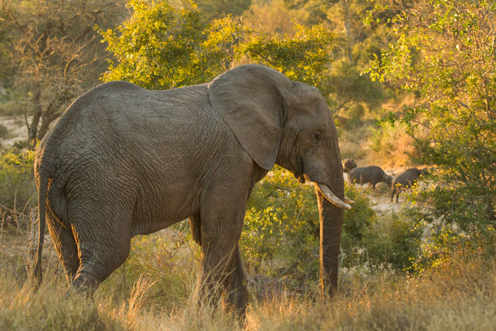 A young bull elephant heads down towards the Manyelethi riverbed where some buffalo bulls are grazing in the background.