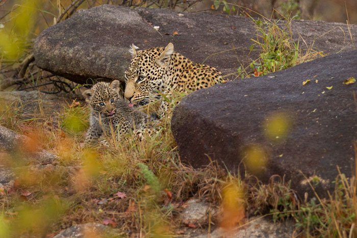 A sighting of a blue-eyed leopard cub is one many people will never get to have, so well are they hidden by the female. This particular leopard lives in a remote and relatively inaccessible area of Londolozi, and as we believe she has now moved her densite, it may be awhile before the cubs are re-discovered.
