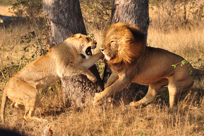 The sub-adult lioness tells the hip-scarred male exactly what she thinks of him