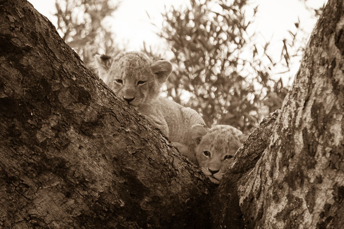 Two of the Tsalala pride's latest litter watch us sleepily from the fork of a Jackalberry Tree.