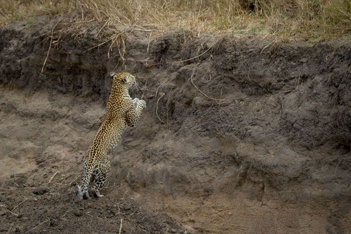The Nanga female jumps up a steep bank in the Manyelethi Riverbed. We were unable to follow with the vehicles and so lost sight of her as she melted into the grass. She had been chasing an unidentified female leopard just prior to this, and we suspect it may have been the Ximpalapala female.
