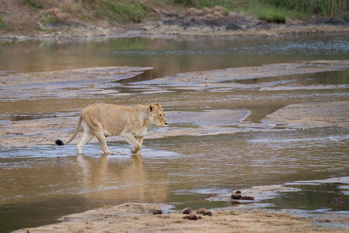 I have waited almost three years for a proper daytime sighting of lions crossing the river. On this afternoon, while watching an elephant bull just west of Pioneer Camp, Mike Sithole spotted movement on the far side of the river (the rest of us could see nothing without the aid of binoculars!) as the Tsalala Pride approached the Sand River. They were watching some Nyala bulls in the thickets and crossed the shallows of the river to initiate the stalk. They were unsuccessful.