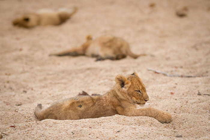 The Mhangeni pride cubs, as fat as anything after helping their mothers eat a zebra, recline in the Manyelethi Riverbed.