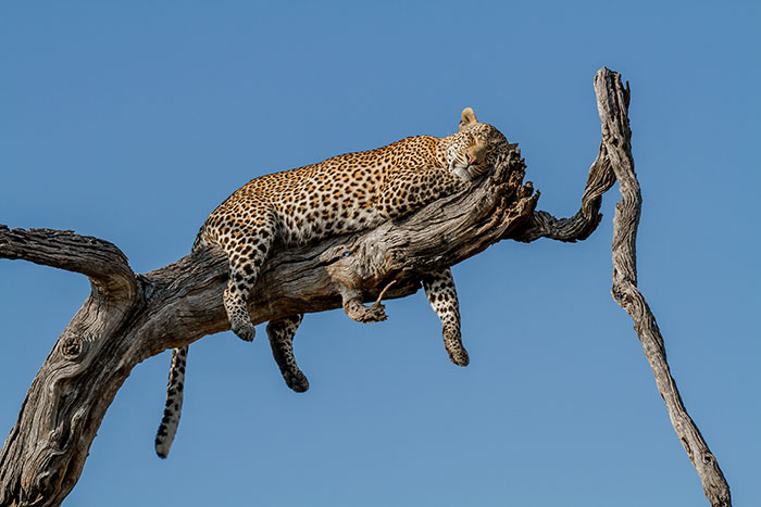 Leopard viewing is outstanding