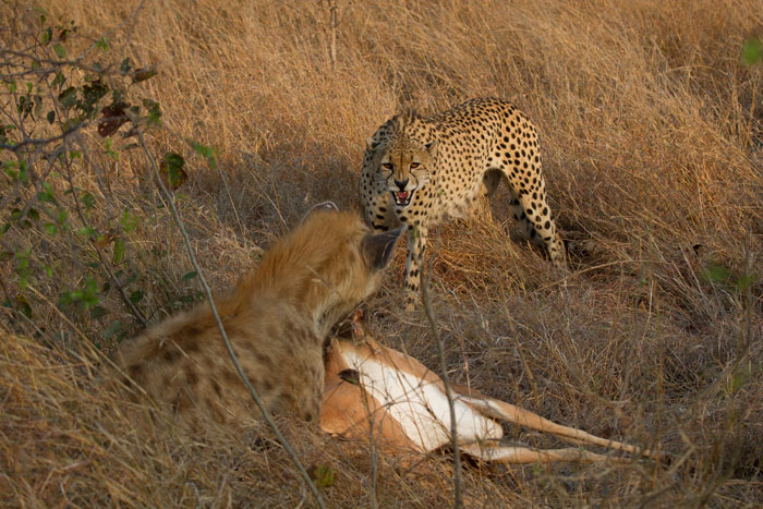 A last despairing growl as the hyena drags the impala away.