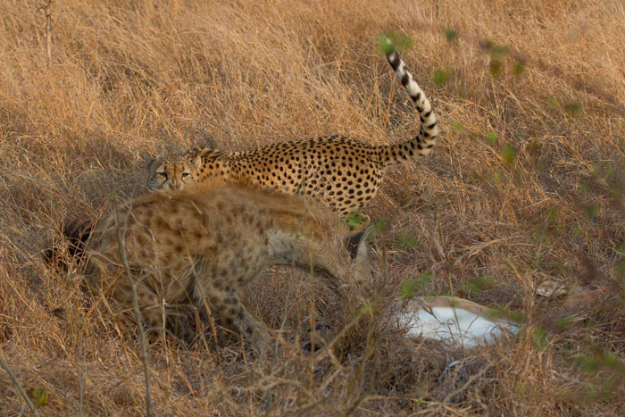 The cheetah jumps out of the way as the hyena has eyes only for the impala carcass.