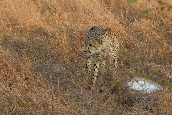 The cheetah's hackles raise as he watches the hyena advancing.