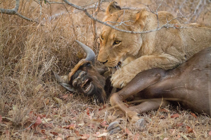 The young lioness has to readjust her grip on the wildebeest in order to kill it more quickly.