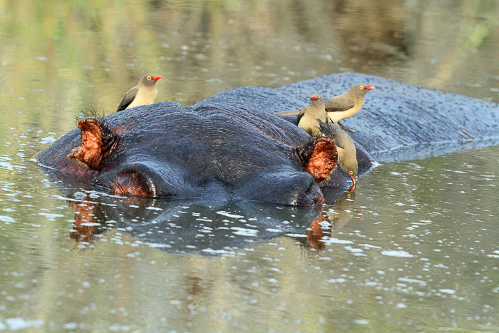 Red-billed oxpeckers using the head of this hippo as resting spot.