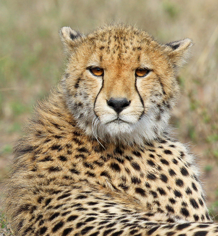 One of the young cheetahs