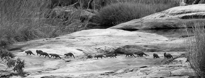 A troop of banded mongoose running across granite rocks