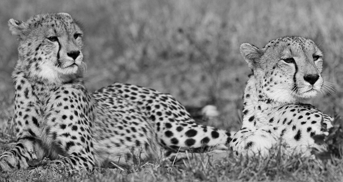 The female cheetah and one of her cubs in black and white