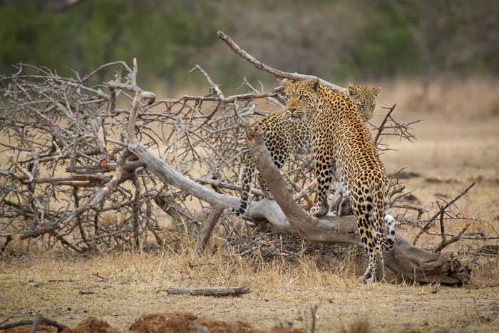 The Tamboti female and her cub explore a fallen Jacket Plum as the head east towards an impala kill the adult female has made.