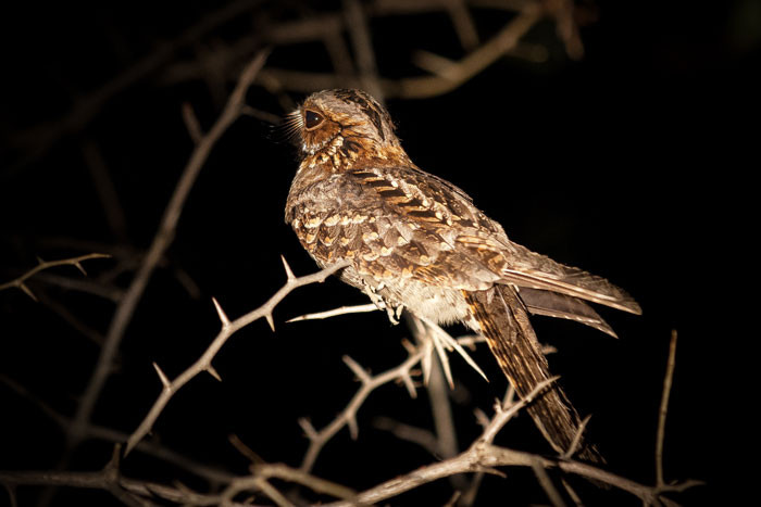 A Fiery-necked Nightjar alights on a thorny branch next to the road.  It's rictal bristles can be clearly seen in this photo. These modified feathers supposedly help funnel insects into its mouth.