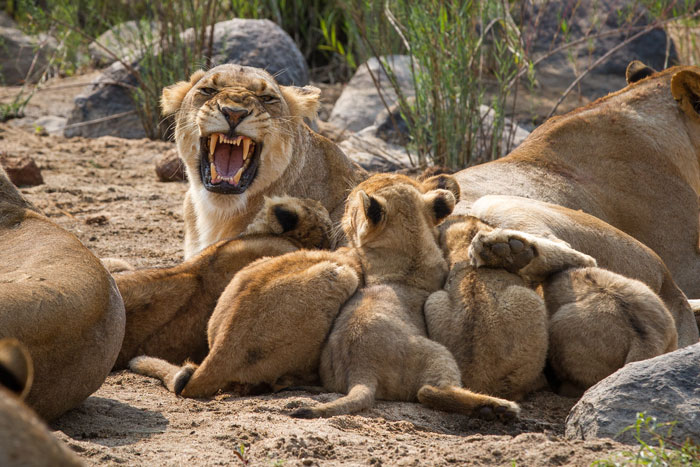 This poor lioness from the Mhangeni Pride had 7 little cubs vying for suckling rights on her 4 teats. As you can see, she was NOT impressed, yet whenever she tried to move off she was followed religiously by the hungry things, not allowed a moment's peace.