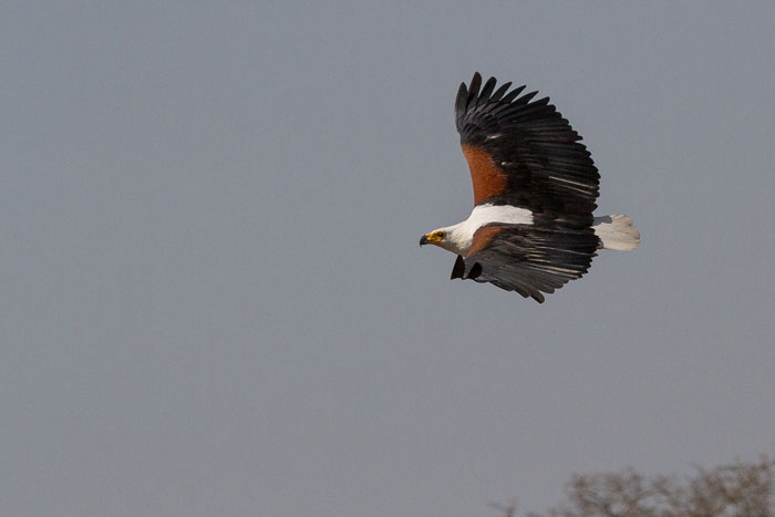 An African Fish Eagle soars majestically over the Sand River. The pair that nests across the River from Granite Camp have been successfully raising a chick this year, faring better than last year when their nest was raided by a large male leopard.