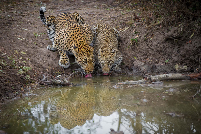 The Tamboti female and her cub line up together for a drink a wonderful photographic moment. this was less than 200m from where the wild dogs were lying and we believe the leopards had actually been chased by them earlier, as when ranger Greg Pingo first found the female she had been calling urgently for her cub. I simply kept my shutter button depressed, shooting at high speed, hoping to capture both tongues out at the same time.