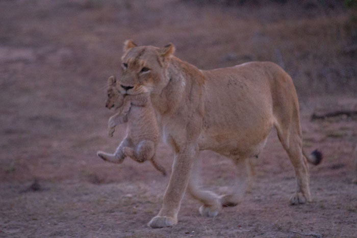 Work in the bush for 20 years and you may never see this. Probably one of the worst photos ever to grace the Week in Pictures, but certainly one of the most amazing moments. The Tailed Tsalala lioness carries one of her cubs through the twilight as she leads them to a kill for the first time.