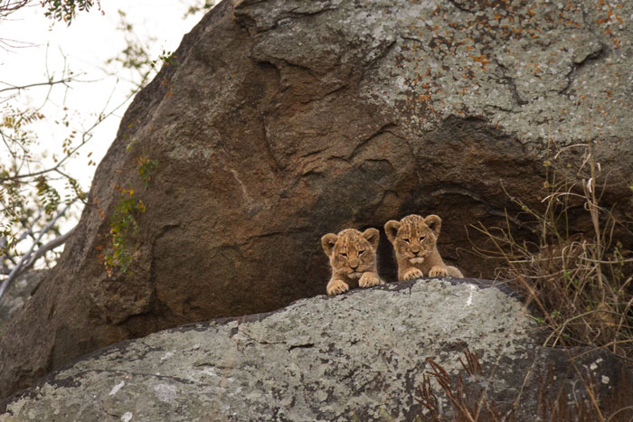 Two of the cubs enjoy the view from up on the koppie.