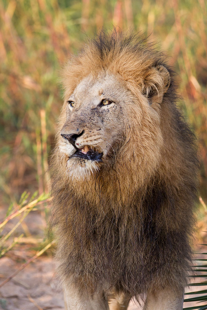 The Majingilane with the missing canine often has a funny expression on him, as his lip tends to fall into his mouth, no longer supported by his upper tooth.