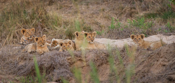 7 of the 9 Mhangeni cubs lie near each other in the Sand River. Two of the lionesses were lying a little way downstream, taking a break from the little nuisances, but a short while later all the cubs scampered excitedly off towards them as they saw their mothers returning.