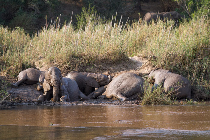 A different elephant sighting on a different day. These particular individuals had dug themselves a mud wallow out of the bank of the Sand River, and sploshed around in it for over half an hour before the arrival of a musth bull prompted the herd to move on.