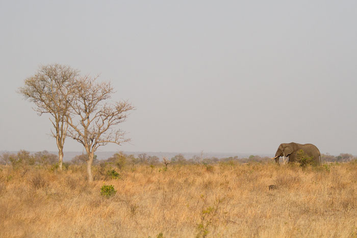 A lone elephant bull moves slowly through the Open Area grasslands. Round-leafed teak gorws prolifilically in this area, and elephants are particularly susceptible to the rich cambium to be found in the stems of this tree.
