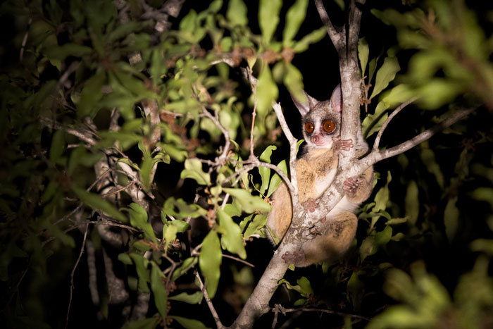 The first photo I have ever captured of a bushbaby. We spotted this one one evening as it went bounding across a sodic site like a miniature kangaroo.