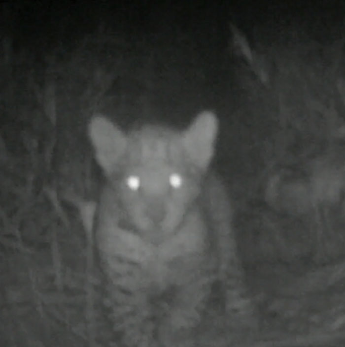 A camera trap picture of Teorema's cub aged 3 and a half months.