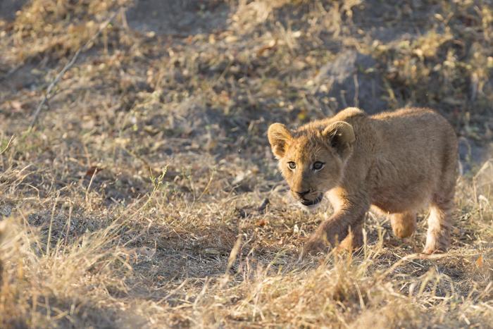 Mhangeni cub stalking littermate