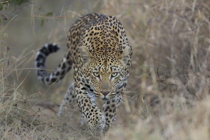 Mashaba female stalking