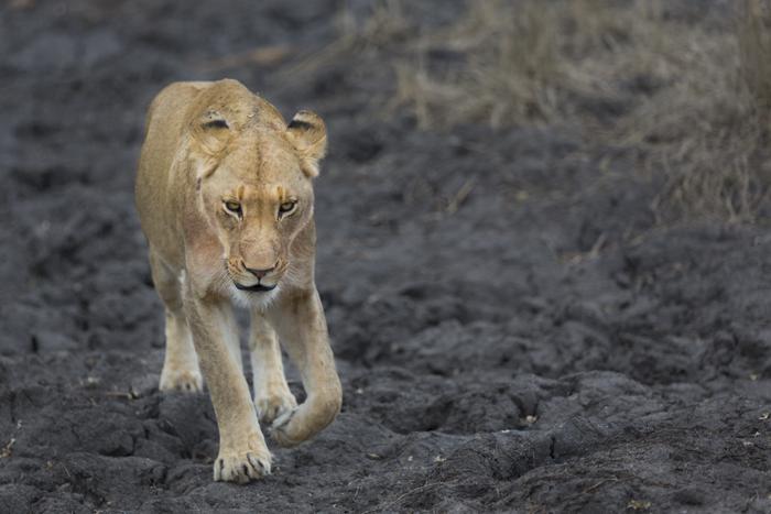 Mangheni lioness on mud pan