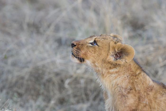 Mangheni cub after zebra kill