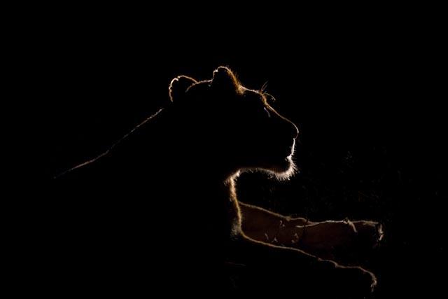 A rim lit Sparta lioness.