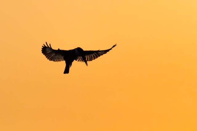 Pied Kingfisher in silhouette.