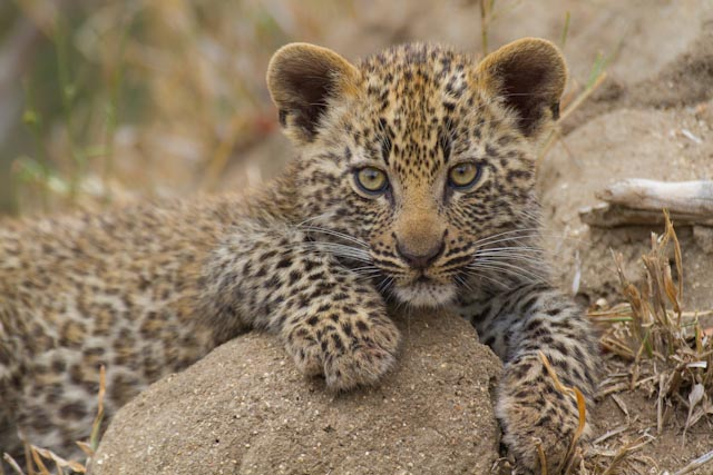 A perfectly relaxed cub.
