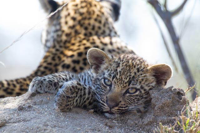 The Nanga cubs have provided great sightings this week.
