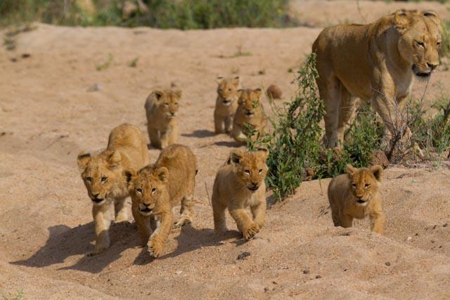 The Mhangeni pride produces again!