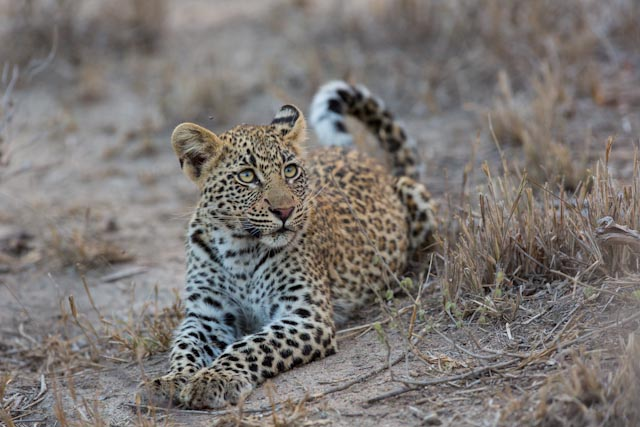 One of my favourite Leopards on the reserve. The cub of Tamboti female.