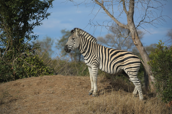 I love how the blue and the green from the background bring out the zebra so wonderfully in this picture.