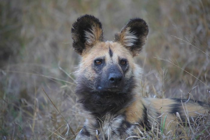 A great face shot of a wild dog, staring way off into the distance.
