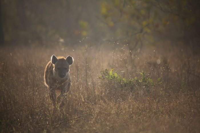 The morning light has created some great back lighting on this hyena