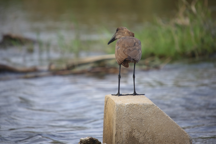 A great Hammerkop shot on the causeway, overlooking the Sand RIver.