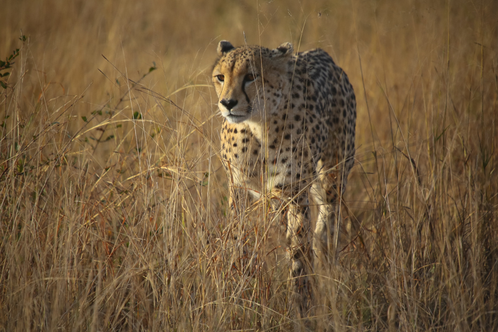 The female cheetah staling through the grass keeping her eye on some impala in front of her.