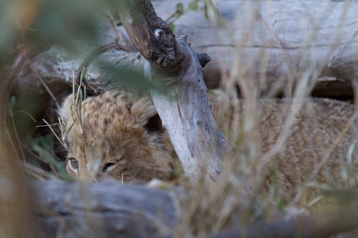 First view of one of the four cubs - Photographed by Kate Neill