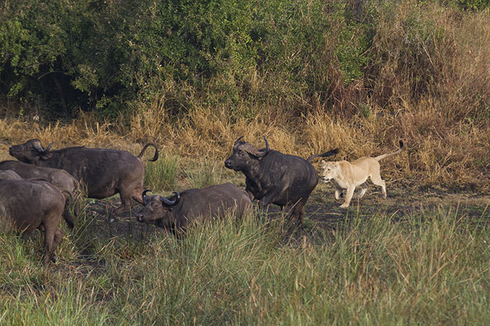 Hot on the heels of the Buffalo as they run for their lives.